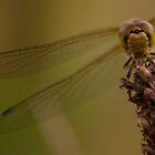 Dragonfly by SweetLemon