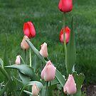 LucKY Tulips by Judi FitzPatrick