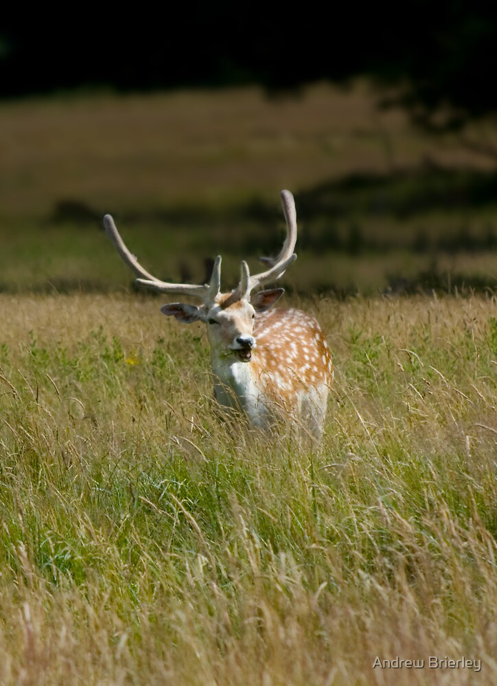 Fallow Deer, Attingham Park by Andrew Brierley
