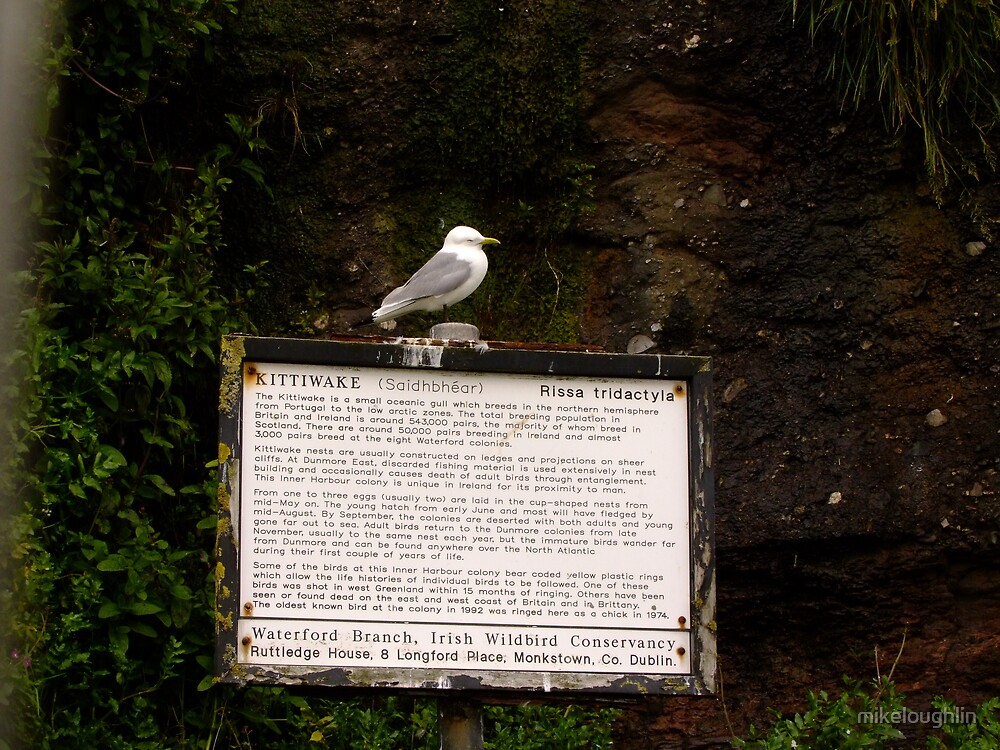 Kittiwake on sign by mikeloughlin