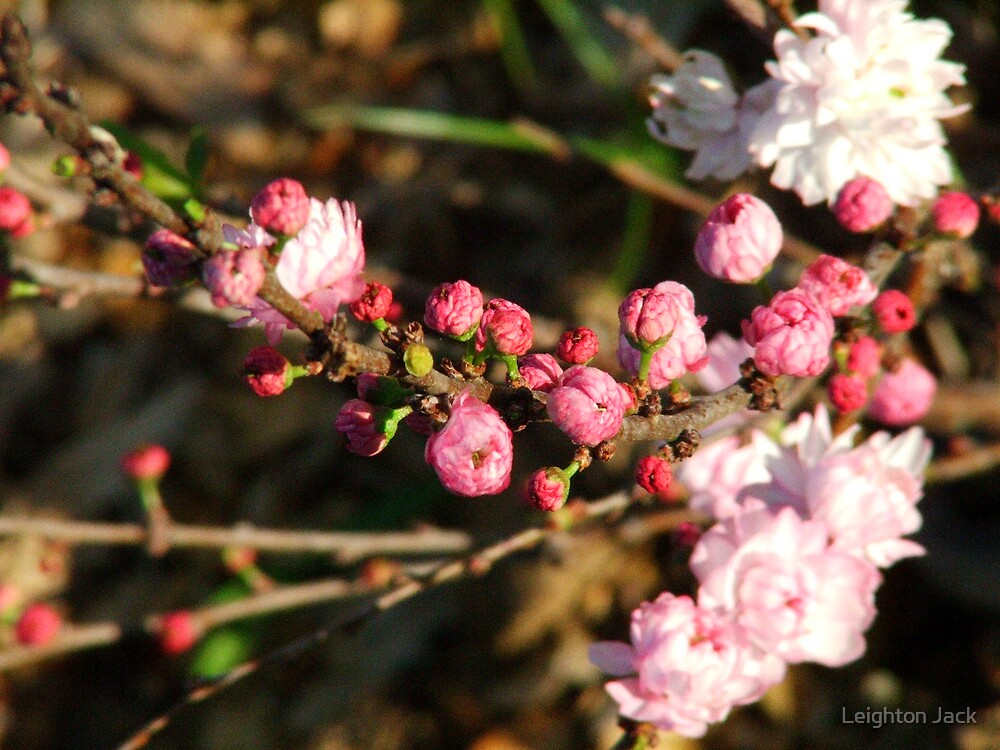 Buds of Pink by Leighton Jack