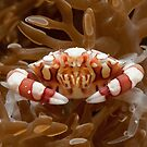 Harlequin Crab, Wakatobi National Park, Indonesia by Erik Schlogl