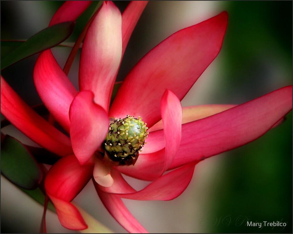 Leucodendron by Mary Trebilco