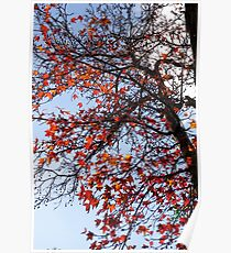 Red and Orange Autumn coloured leaves with blue sky background Poster