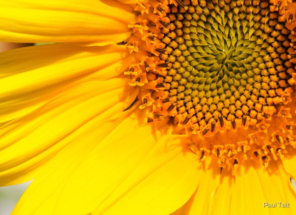 Sunflower by Paul Tait