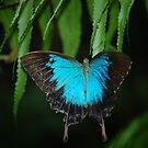blue butterfly by daneo