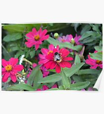 Bee on pink flowers in the garden  Poster