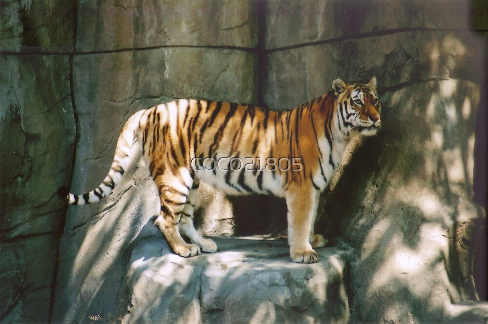 Tiger in shade by COCO21805