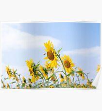 Summer sunflowers fiel landscape Poster