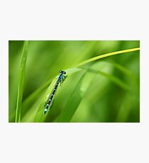 Summer Bluet Photographic Print