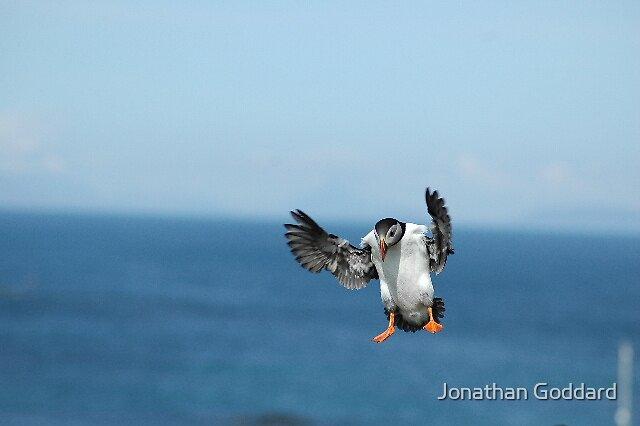Puffin in flight by Jonathan Goddard