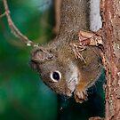 Red Squirrel by David Friederich