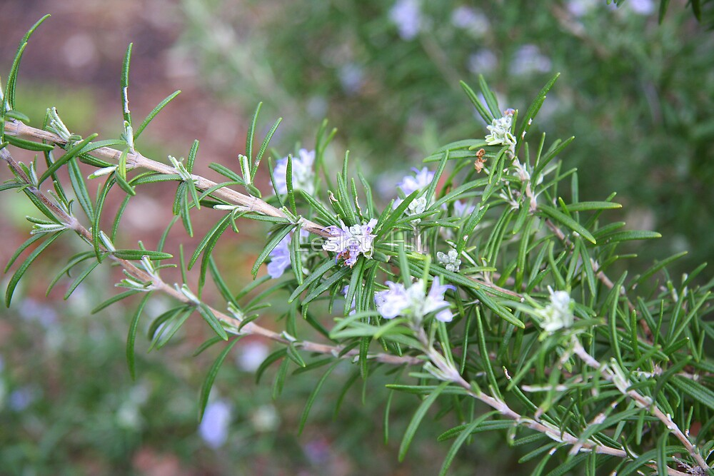 Rosemary to Remember! by Lesley  Hill