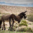 Death Valley wilde Burros von Corri Gryting Gutzman