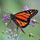 Monarch Beauty by Cynthia48