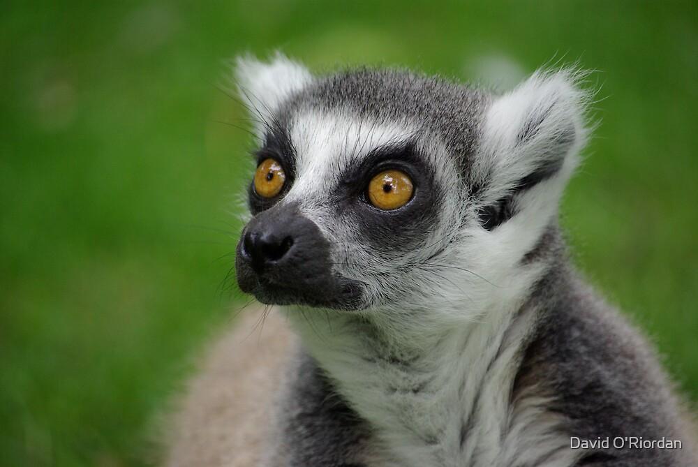 Ring Tailed Lemur by David O'Riordan