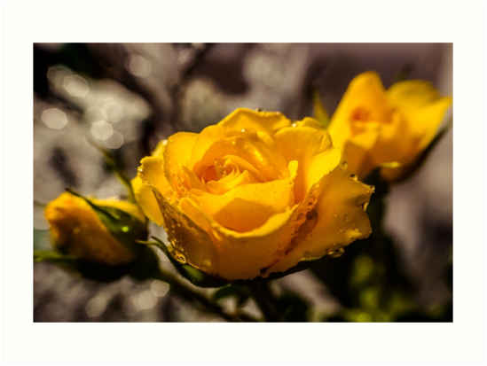 Yellow rose flower with rain drops by Art Dream Studio