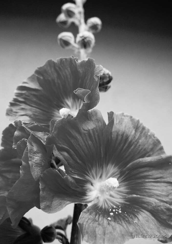 Black and White Hollyhock close-up by Nalinne Jones