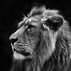 Asiatic Lion BW by Yampimon