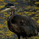 The Great Blue Heron by Laddie Halupa