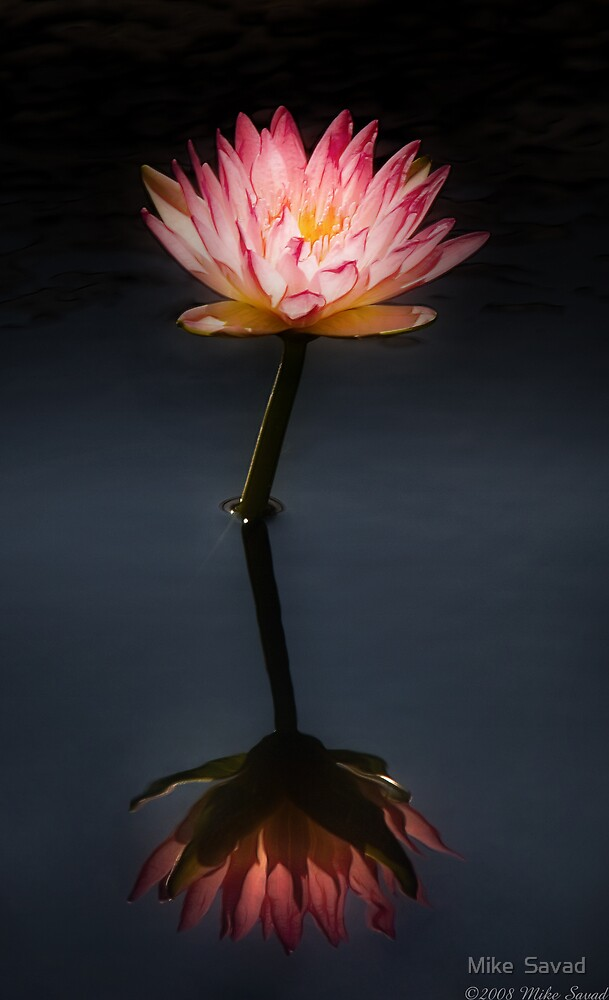 Nymphaea  Jack Wood - Reflection  by Michael Savad