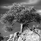 Acacia Tree, Namibia by Wild at Heart Namibia