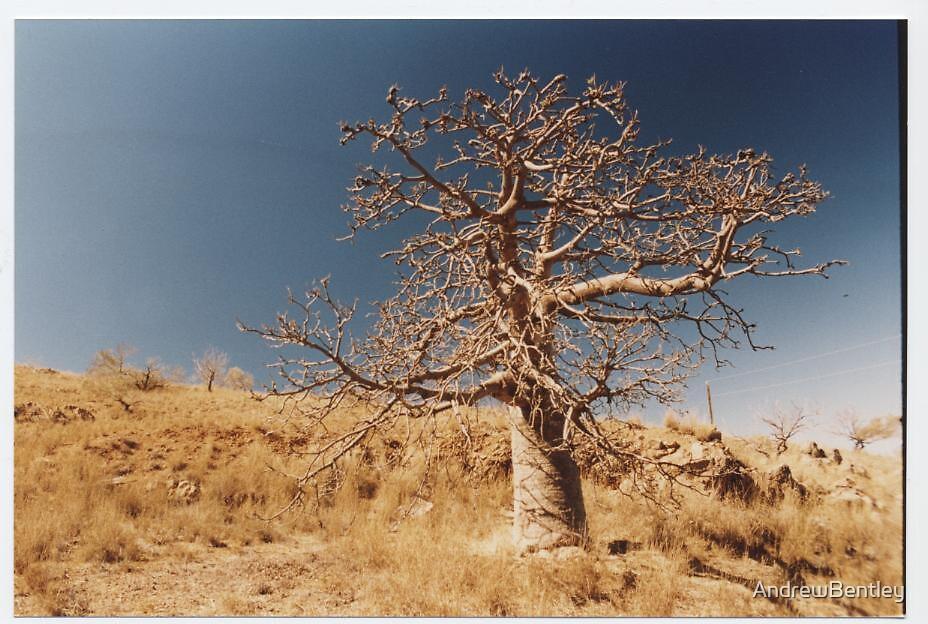 Boab Tree Cossack WA by AndrewBentley