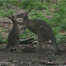 Kangaroos Kissing by Wolska