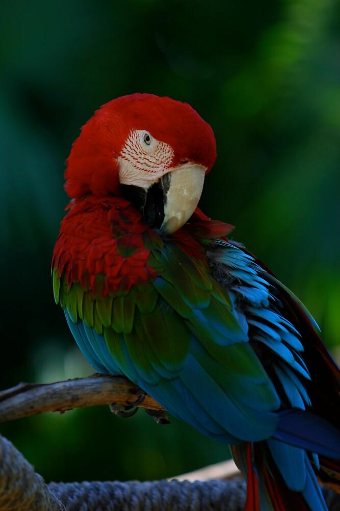 Macaw by CherilynJoy