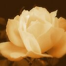 Antique Rose by Kim Soltes