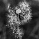 Dandelion Seeds in Black and White by EHillson