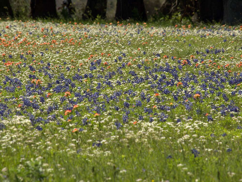Texas Wildflowers by Donald Harper