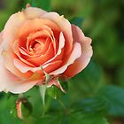 Beautiful pastel pink garden rose and buds by Anna Lemos