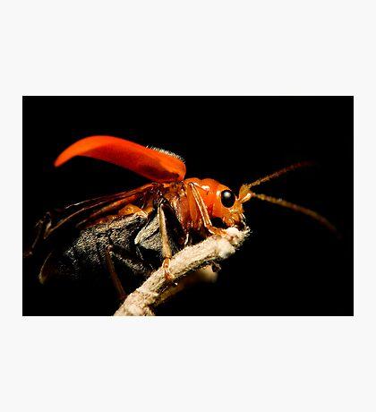 Orange Beetle Photographic Print