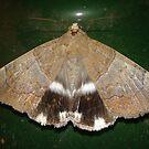 Large Moth by MardiGCalero