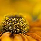 Soft Rudbeckia by Ann Garrett