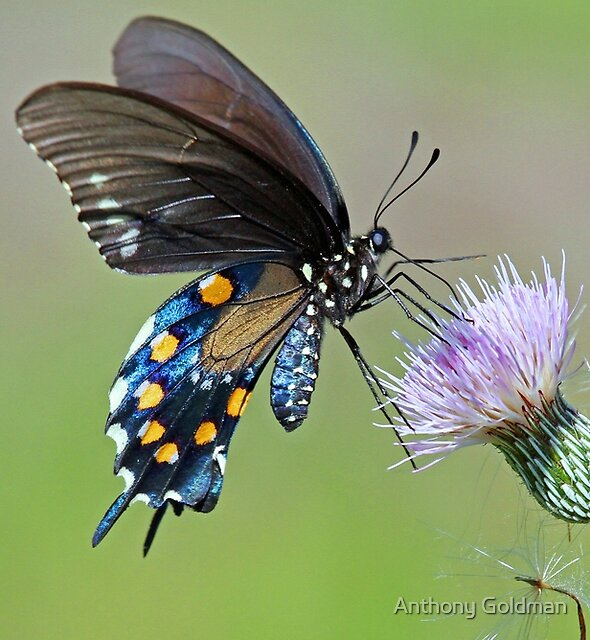 Butterfly in the park by Anthony Goldman