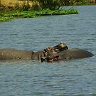 Hippos Wallow by Robin Hayward