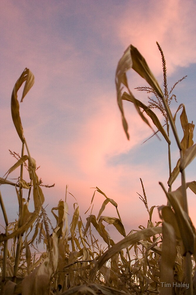 Prarie skies from a corn field by Tim Haley