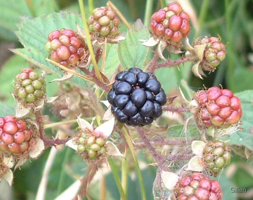 Black Berry by Gillen