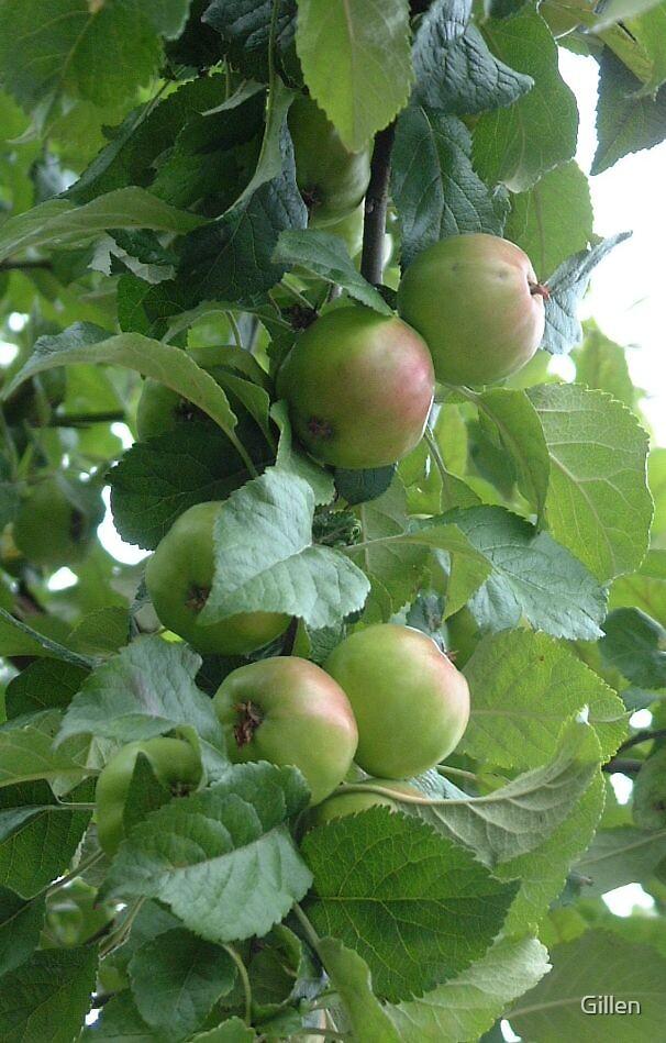 Apples by Gillen