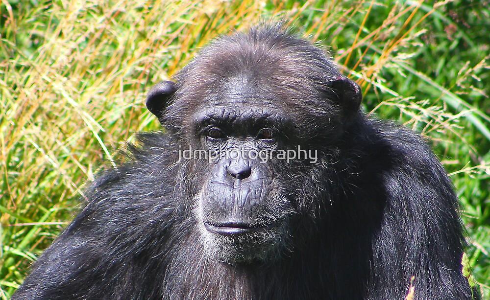 Chimp portrait...... by jdmphotography