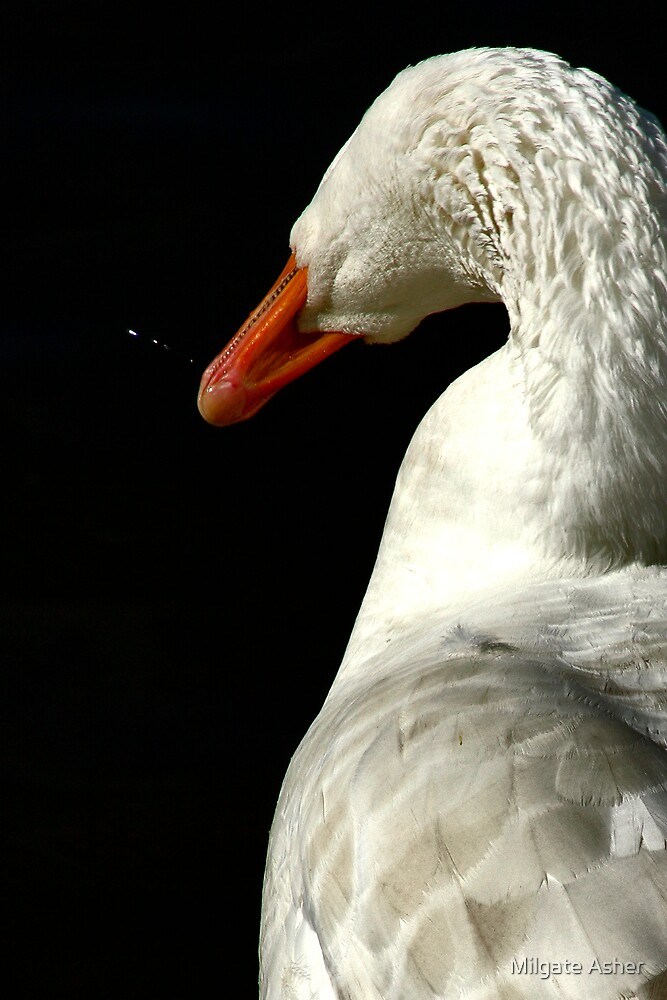 Goose Head Shake by Milgate Asher