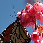 Monarch and the Cherry Laurel tree by lizdomett