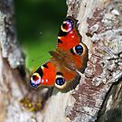 Peacock Butterfly by M S Photography/Art