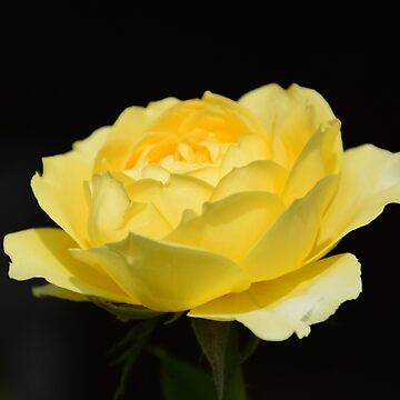 Yellow Rose von Mows