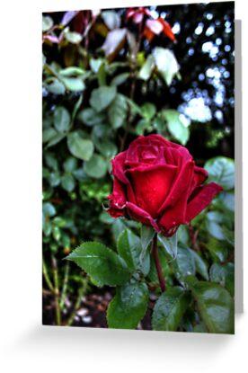 Red Velvet Rose by Vicki Spindler (VHS Photography)