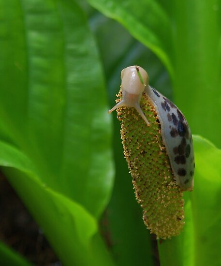 Banana Slug (Ariolimax columbianus) on Skunk Cabbage (aka Swamp lantern) (Lysichiton americanus) by Edward A. Lentz