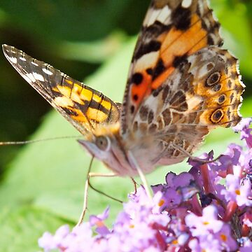 Painted Lady Butterfly by HannahSterry