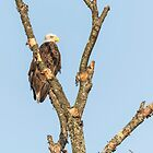 Bald Eagle 2017-3 by Thomas Young